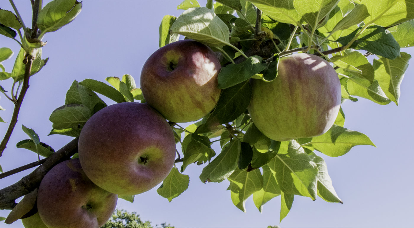 Apples-on-branch